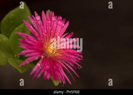 Close up studio shot of an Ice Plant flower - Stock Photo