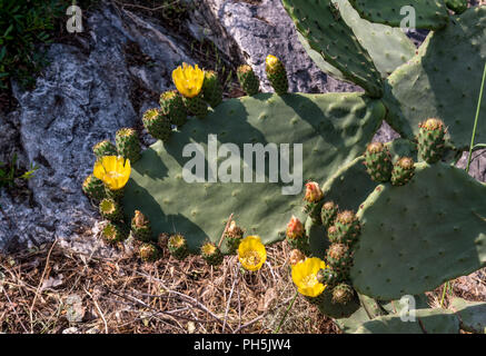 Prickly Pear (Opuntia ficus-indica) in flower in the Mediterranean Village of Eze on the Cote d'Azure - Stock Photo