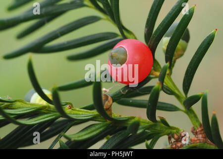 Close up of yew tree berry (Taxus baccata). Tipperary, Ireland - Stock Photo