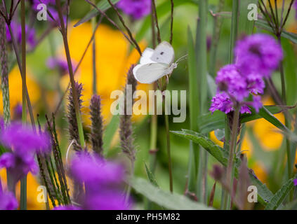 Pieris brassicae, white big butterfly flies through the field with lilac and yellow flowers, around the green leaves, plant Verbena rigida, - Stock Photo