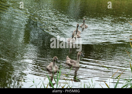 six small chicks swans of a gray-brown color float on the lake's water and look into the camera, fluffy kids with black eyes, summer, autumn, daylight - Stock Photo