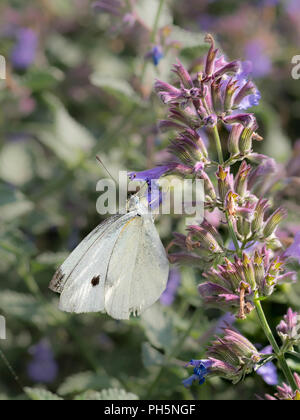 Cabbage White Pieris rapae white butterfly on a flower, pollen, new jersey butterfly, montreal, canada, quebec wildlife plants - Stock Photo