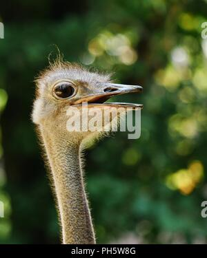head of an ostrich, detailled closeup, backlit by sunlight, defocused background - Stock Photo