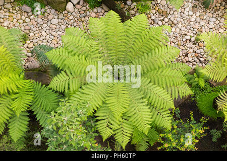 View from above / the balcony of tree ferns / tree fern in the restored Victorian Temperate House at the Royal Botanic Garden, Kew. London. UK. (101) - Stock Photo