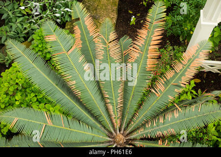 View of a type of palm tree from the balcony of the restored / after the 2018 restoration of Victorian Temperate House at the Royal Botanic Garden, Kew. London. UK. (101) - Stock Photo