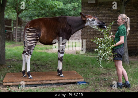 London, UK. 23rd August 2018. Annual animals weigh-in and measure to record vital statistics at ZSL London Zoo. Credit: Guy Corbishley - Stock Photo