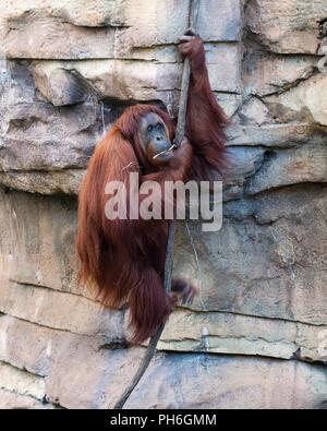 Orangutan monkey. - Stock Photo