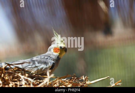 beautiful parrot Corella, Cockatoo in the nest - Stock Photo