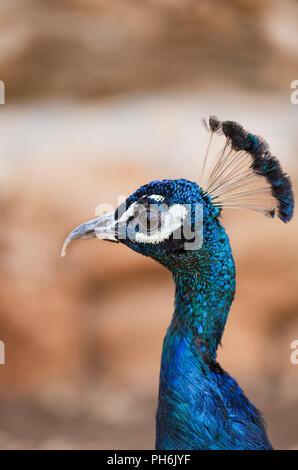 beautiful peacock portrait, close-up - Stock Photo