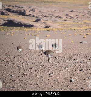 A group of Greater Rhea / Nandu (Rhea americana) graze on the Altiplano, in the Eduardo Avaroa National Reserve, Uyuni, Bolivia - Stock Photo