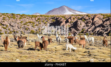A group of Llamas and Alpacas grazing on the Altiplano, in the Eduardo Avaroa National Reserve, Uyuni, Bolivia - Stock Photo