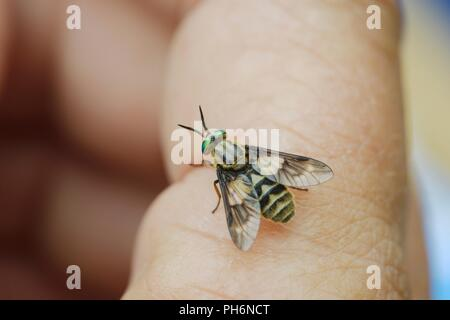Chrysops relictus, Twin Lobed Deerfly, biting insect on human hand, Wales, UK. - Stock Photo