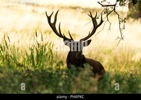 Majestic powerful adult red deer stag outside autumn forest in Dyrehaven, Denmark. Mating season, deer in natural forest habitat, big beautiful animal - Stock Photo
