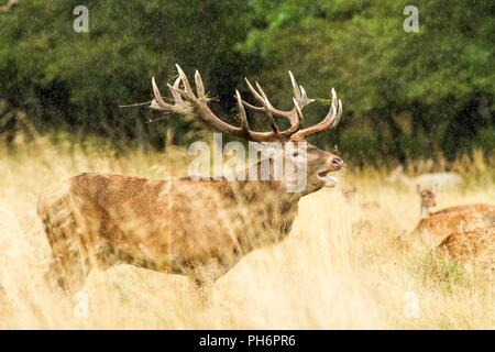 Male red deer with huge antlers during mating season in the early morning autumn light, mating season, male guarding his flock of females - Stock Photo