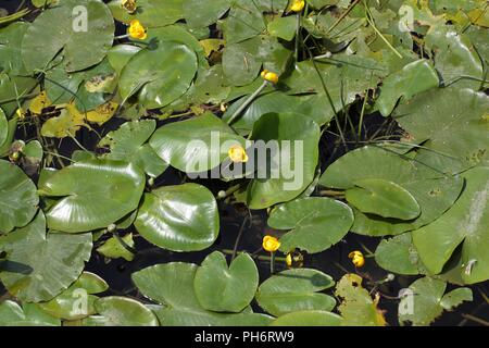 Yellow Water-lilies (Nuphar lutea) in a river.