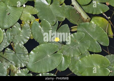 Yellow Water-lilies (Nuphar lutea) in a river. - Stock Photo