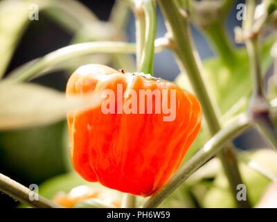 Close-up of a growing orange habanero chili and blurry background - Stock Photo