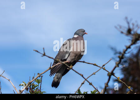A wood pigeon (Columba palumbus) sitting on a curved branch against a lightly clouded blue sky - Stock Photo