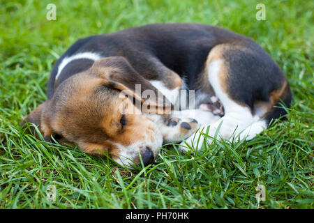 Picture of a cute beagle puppy sleeping on the grass - Stock Photo
