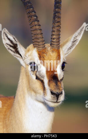 portrait of a thomson's gazelle at nakuru - Stock Photo