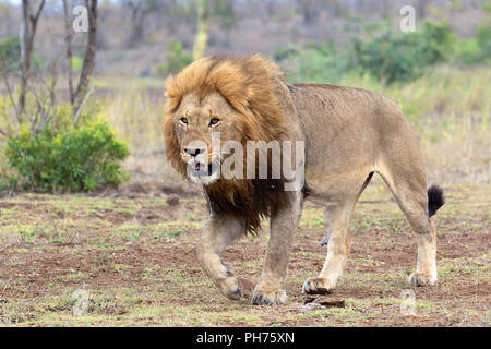 male lion walking in kruger national park - Stock Photo