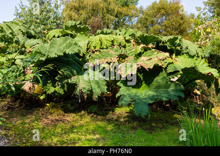 Large Gunnera plant in Irish garden, County Kerry, Ireland - Stock Photo
