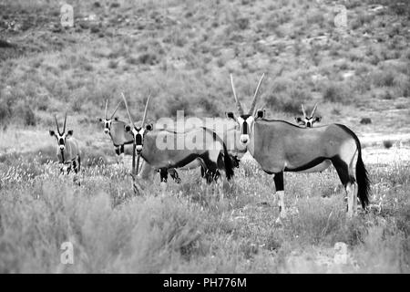 herd of oryxes at kgalagadi national park south africa - Stock Photo