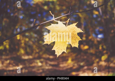 Yellow maple leaf on a background of trees in the Park. The autumn theme. atmospheric tinted photo - Stock Photo