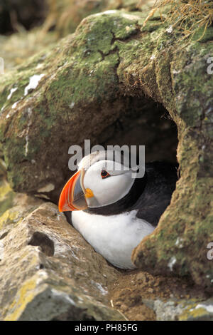 Atlantic puffin, Papageitaucher, Fratercula arctica, - Stock Photo