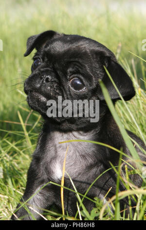 Schwarzer Mops, Black Pug, 8 weeks old puppy - Stock Photo