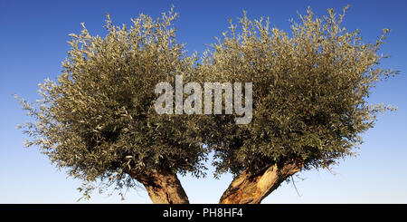 White willow (Salix alba), Lower Rhine, Rees - Stock Photo