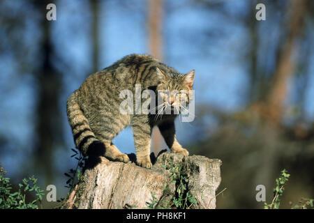 Europaeische Wildkatze, Felis silvestris, Common Wild Cat - Stock Photo