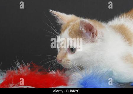 Hauskatze, Felis silvestris forma catus, Domestic-cat - Stock Photo