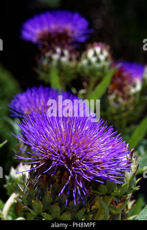 Echinops exaltatus, the Russian globe thistle or tall globethistle - Stock Photo
