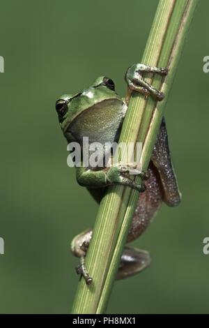 Europaeischer Laubfrosch, Hyla arborea, European tree frog - Stock Photo