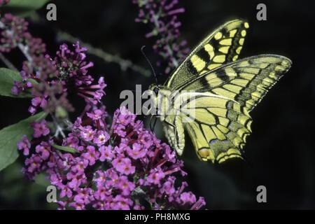 Schwalbenschwanz, Papilio machaon, Swallowtail - Stock Photo