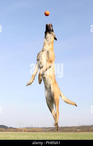 Malinois, Belgian Shepherd Dog - Stock Photo