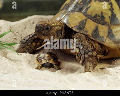 Greek Tortoise / Hermann's Tortoise / Griechische Landschildkroete - Stock Photo