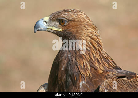 close-up of a Golden Eagle, used for hunting, Kyrgyzstan - Stock Photo