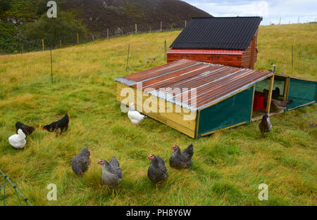 Free range eggs produced from a gathering of Marans and Leghorn Hens on this Hill farm croft in Strathspey in the Scottish Highlands. - Stock Photo
