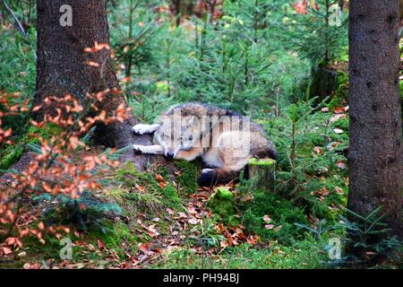 wolf at bavarian forest national park germany - Stock Photo