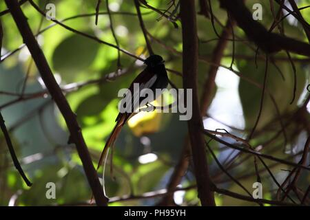 African paradise flycatcher (Terpsiphone viridis) - Stock Photo