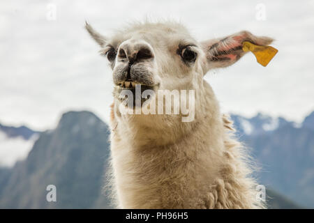 Close up of Llama. Winay Wanna Incan Ruins, Inca Trail, Peru. - Stock Photo