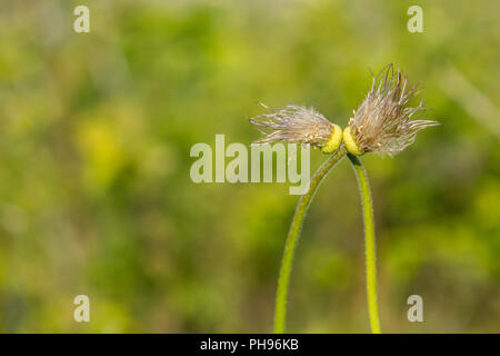eafless love kiss dandelions - Stock Photo
