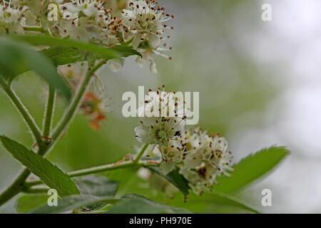 Flowers of a true service tree (Sorbus domestica) - Stock Photo