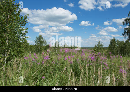 Blooming fireweed flowers in a meadow - Stock Photo