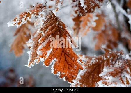 Frozen oak leaves covered with frost on the tree - Stock Photo