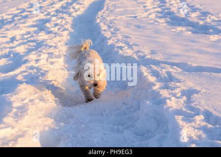 White dog running in snow - Havanese - Stock Photo