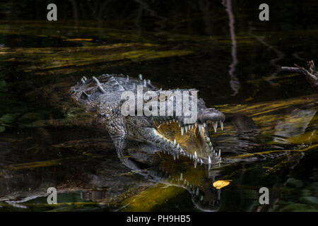 American Crocodile (crocodylus acutus) in a swamp in Black River, Jamaica - Stock Photo