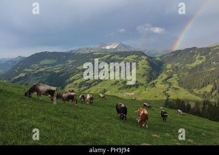 Grazing cows on a alpine meadow in the Swiss Alps - Stock Photo